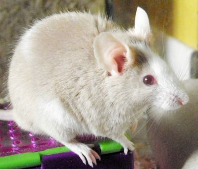 PACT-Animal-Sanctuary-Rescue-Fancy-Mice