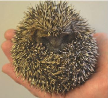 PACT-animal-sanctuary-Baby-Hedgehog-rescued