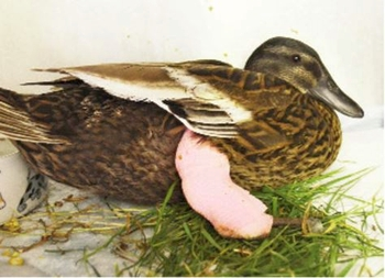 PACT-animal-sanctuary-Duck-with-broken-leg