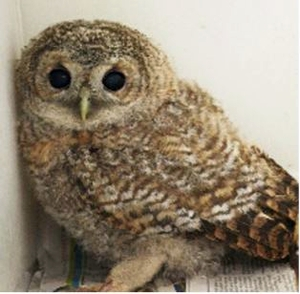 PACT-animal-sanctuary-Fledgling-Tawny-owl