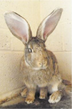 PACT-animal-sanctuary-George-rabbit