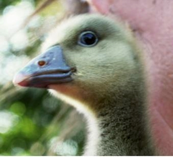 PACT-animal-sanctuary-Hand-reared-gosling