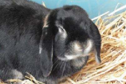 lop-eared-rabbit-PACT-animal-sanctuary-Hershey