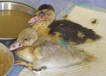 PACT-animal-sanctuary-Rescued-ducklings