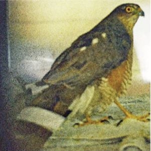 PACT-animal-sanctuary-INJURED-Sparrow-hawk-rescue