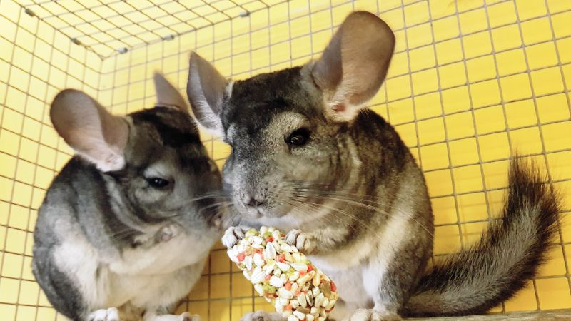Rescue chinchillas Brian and Dwayne from PACT Animal Sanctuary