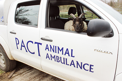 Drago the sheep in the animal ambulance