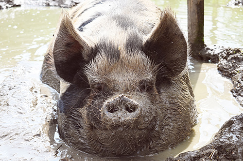A happy rescue pig in his mud wallow