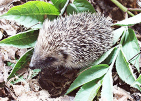 Help Support Our Hedgehogs