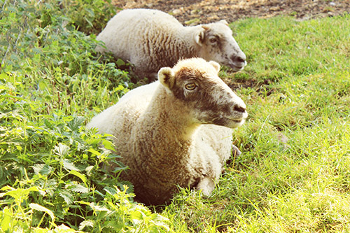 Two rescue sheep in the grass